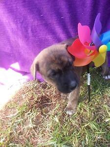 Alaskan Malamute x Staffy pup. Elizabeth Downs Playford Area Preview