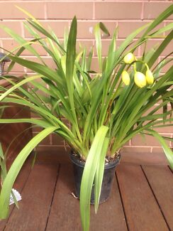 Cymbidium orchid  Doncaster East Manningham Area Preview