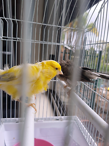 Two Beautiful Frill Canaries, yellow (male) and Grey (hen) Penrith Penrith Area Preview