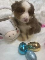 Gorgeous Chocolate Tri Australian shepherd all puppies sold