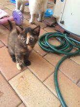 Kitten Tanah Merah Logan Area Preview