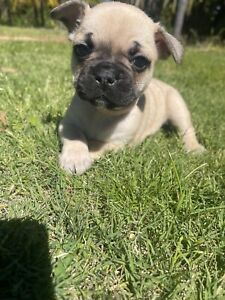 Male and female French Bulldog puppies- French bull dog