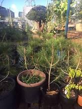 Black Pine Bonsai starters Greenacre Bankstown Area Preview