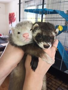 Ferrets for sale, FOR ALL!!
