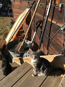 FREE KITTENS LITTER OF 5!! Still available !!! Strathcona County Edmonton Area image 2