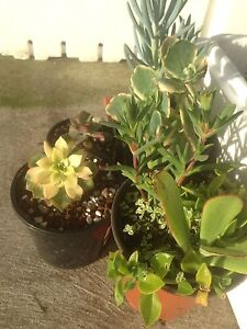 80 different varieties of Succulents @$3 each Huonville Huon Valley Preview