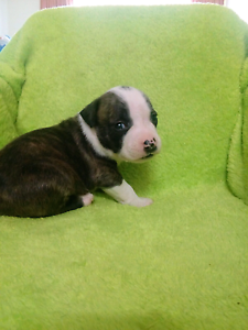 Pedigree American Staffordshire Terrier Pups Tea Tree Gully Tea Tree Gully Area Preview
