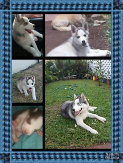 Ugent Husky for sale dew to ill health