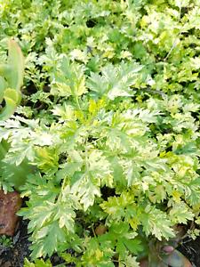Variegated mugwort herbal plant Mahogany Creek Mundaring Area Preview