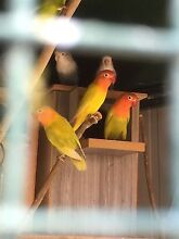 MAUVE, VIOLET, LUTINO, PASTEL FISCHER LOVEBIRD COLONY Kingsford Eastern Suburbs Preview