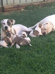 American Johnson Bulldog pups Dubbo Dubbo Area Preview