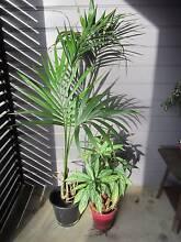 HOUSE PLANTS- KENTIA PALM AND AGLONOMEA Charlestown Lake Macquarie Area Preview