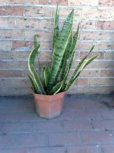 Snake plants Lake Heights Wollongong Area Preview