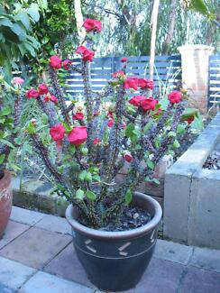 Beautiful crown of thorn plants for sale