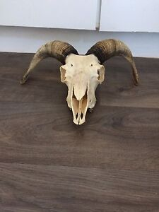 Real Sheep Skull With Horns