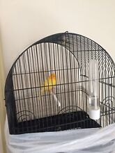 canary bird for sale Kearneys Spring Toowoomba City Preview