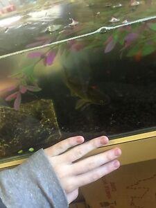 Breeding pair of Goldfish(5-8cm) & LARGE (around 10cm) feeder goldfish Rosebud Mornington Peninsula Preview