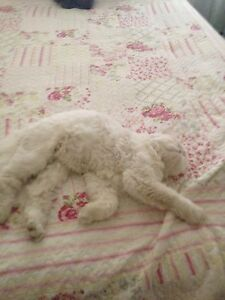 Lost White Munchin Cat East Cannington Canning Area Preview