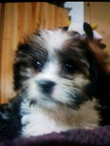Chihuahua X King charles cavalier spaniel cross male pup