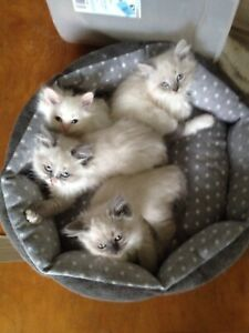 Two months old pure breed Himalayan kittens