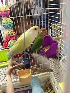 Beautiful female and male love birds with their two cute babies
