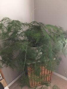 Large Indoor House Fern (Price Reduced)