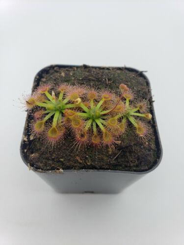 Drosera omissa x pulchella (2-3 plants on each order)