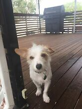 Woody.Jack Russell cross X chihuahua.7months.4kgs Deception Bay Caboolture Area Preview