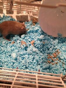 Gerbil for sale