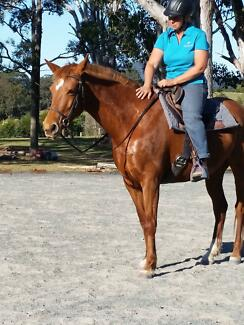 Registered Stock Horse Mare - 7yrs Krambach Greater Taree Area Preview