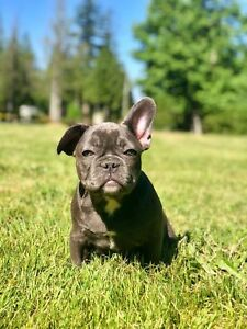 Blue French Bulldogs