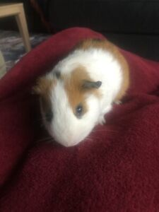 Guinea Pigs For In Geelong Region Vic Gumtree Australia Free Local Classifieds