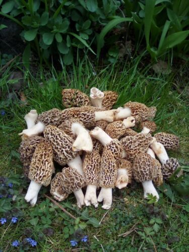 Morel mushroom fresh  dried Wisconsin  1oz