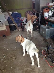 Goats for sale Rossmore Liverpool Area Preview