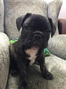 Purebred French Bulldog Pup Male Rockhampton Rockhampton City Preview