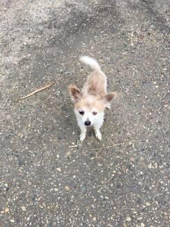 Lost Dog / Small Pomeranian