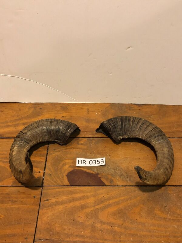 Ram Horn exotic Outdoors Hunting Wildlife Decoration texas Hill Country HR0353