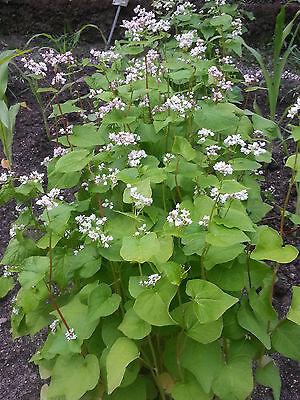 Echter Buchweizen - 200 Samen  Fagopyrum esculentum  Zier und Nutzpflanze
