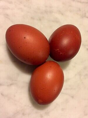 6 + Black Copper Marans Hatching Eggs NPIP