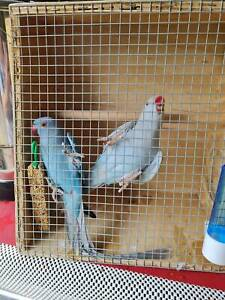 Ringneck pairs for sale