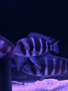 4 Adult male Frontosa available