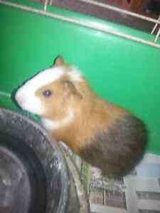 Guinea pig for sale Smithfield Parramatta Area Preview