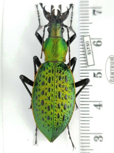 Carabidae Carabus (Coptolabrus) smaragdinus euviridis S Korea