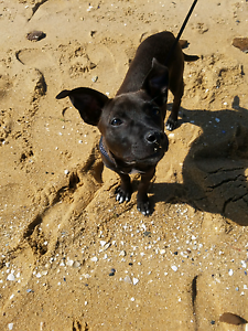 Staffy x kelpie Beaconsfield Fremantle Area Preview