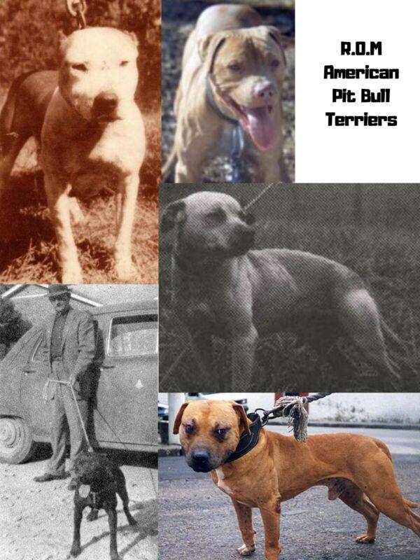 ROM American Pit Bull Terrier Book