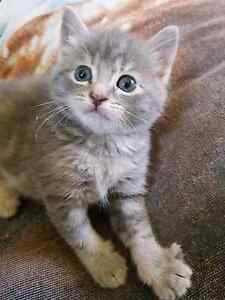 GORGEOUS KITTENS Cecil Hills Liverpool Area Preview