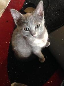 2 grey kittens Ellen Grove Brisbane South West Preview
