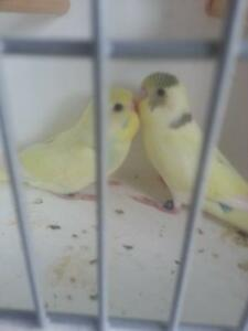 4 X BABY RAINBOW/ SPLIT PIED BUDGIES $15 EACH Parkwood Gold Coast City Preview