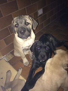 Mastiff Cross Puppies