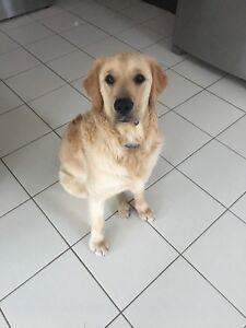 Looking for a female Golden Retriever as Play Partner